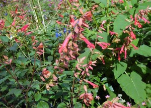 August Salvia Ember's Wish