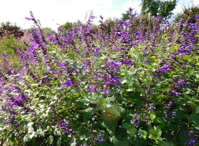 August Salvia Purple Amistad