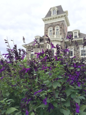 August Salvia Purple Mansion